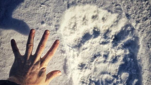 Огромные следы белого медведя напугали правительство
