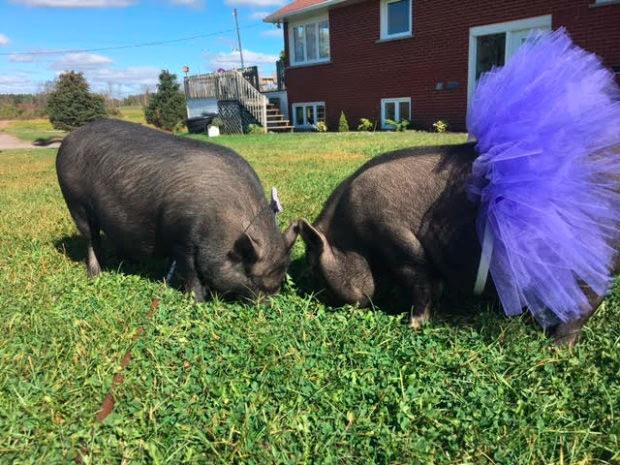 Охотники застрелили соседских свинок вместо кабанов