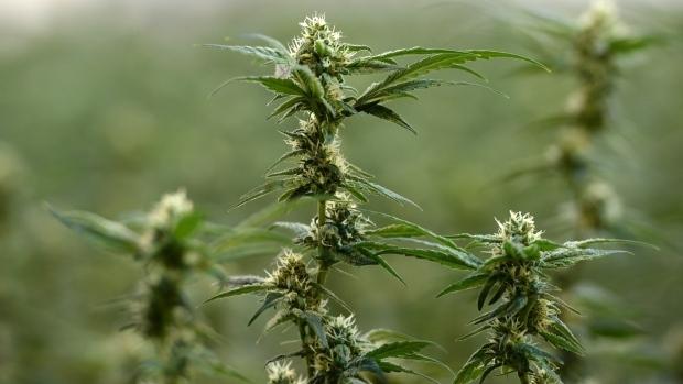 Полиция все же провела рейд против лоточников, продающих марихуану в Ванкувере