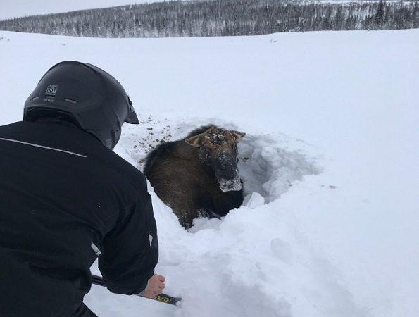 Сноумобилисты спасли лося из снежного плена