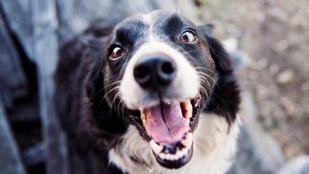 Лай дороже собаки! Максимальный штраф за громкое «тяв-тяв» в Гамильтоне— $25 000