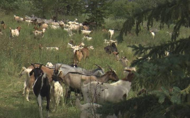 Эдмонтону требуются пастухи для выпаса коз