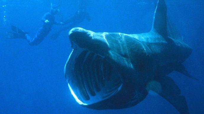 На Атлантике наблюдается необычайное скопление китовых акул