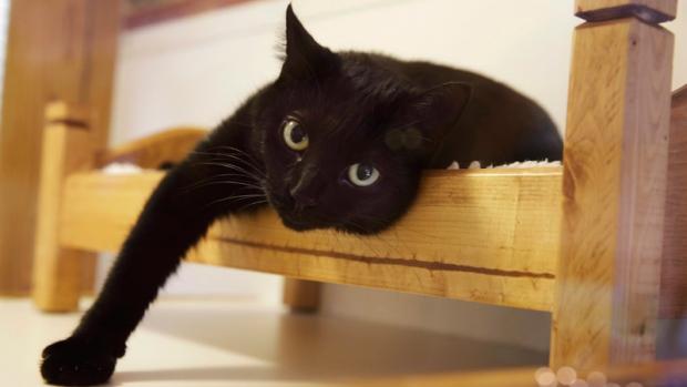 Новая Шотландия первой в Канаде запретила вырывать у кошек когти