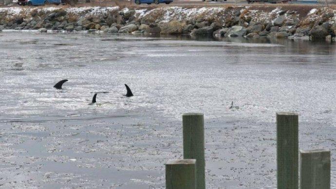 Вызволить дельфинов из ледового плена не удается