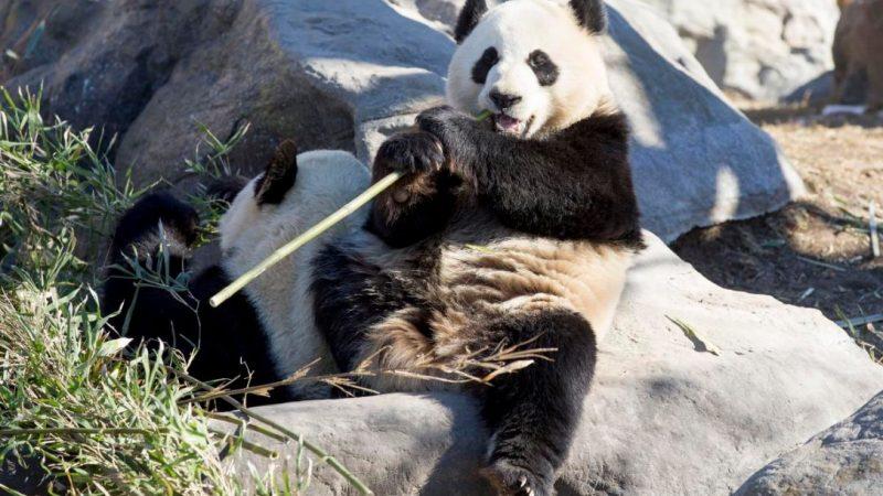 Панды улетают из Торонто в Калгари