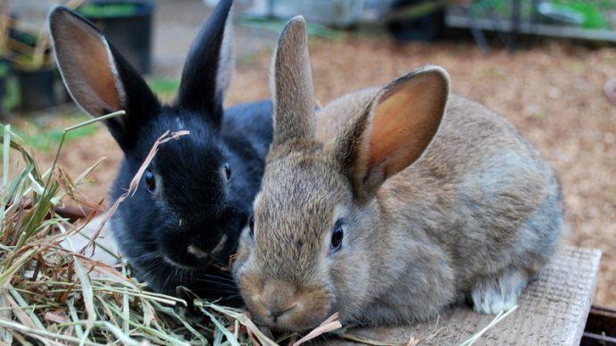 В Британской Колумбии действует запрет на кроликов