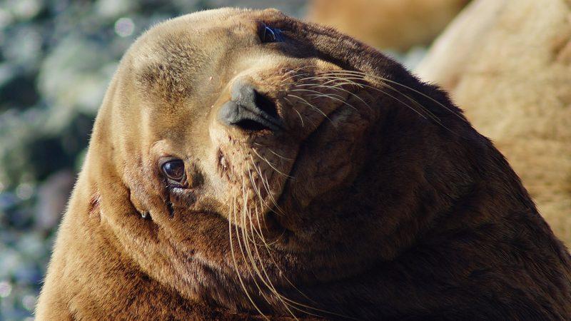 Ванкуверский Аквариум спас морскую львицу от верной смерти
