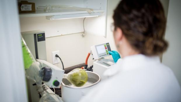 Канадские водоросли могут помочь в угнетении раковых опухолей