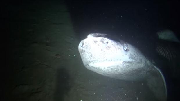Ученым удалось «сфотографировать» гренландскую акулу в Канаде