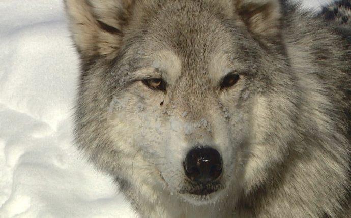 Собако-волк— не лучший друг человека,— считают канадские специалисты
