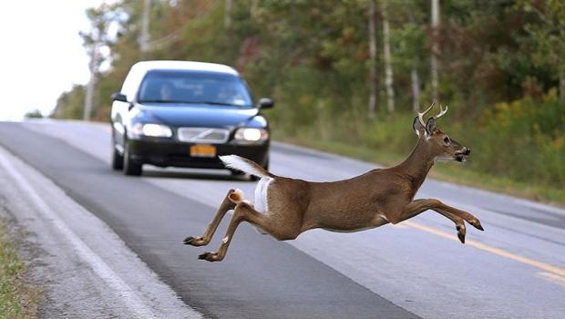 Канадские олени совсем достали... Студенты предлагают их отстреливать