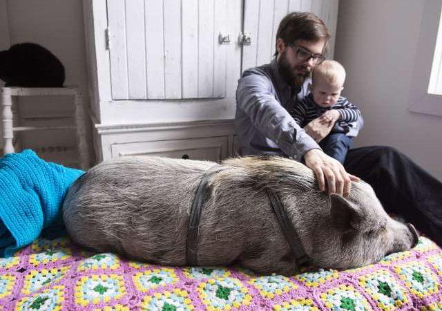 Свинье разрешили жить в городской квартире