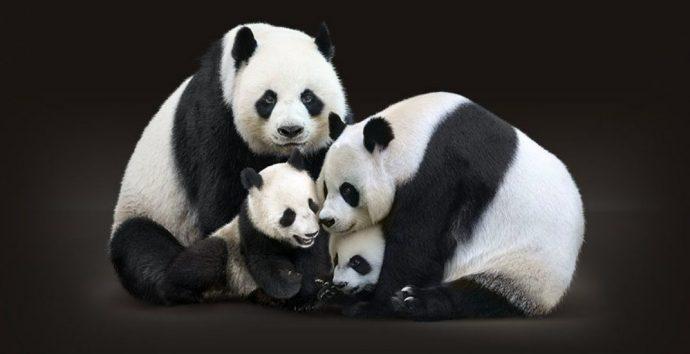 В Калагри четверку панд принимали на высшем уровне