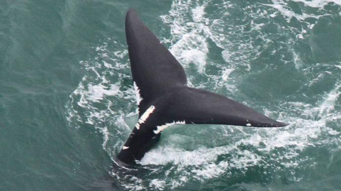 Канада ограничила рыболовство с целью спасения китов