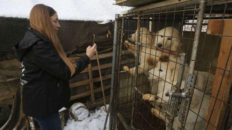 Собаки «на мясо» спасены и оправляются в монреальском приюте