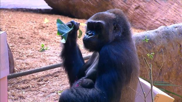Родившаяся в торонтском зоопарке горилла— девочка по имени Чарли