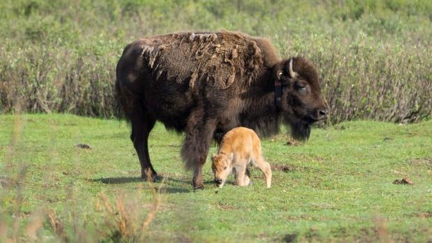 Первые бизоны в Национальном парке Банфф