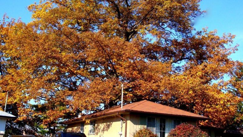 Горсовет Торонто оказался полезным: спас исторический дуб