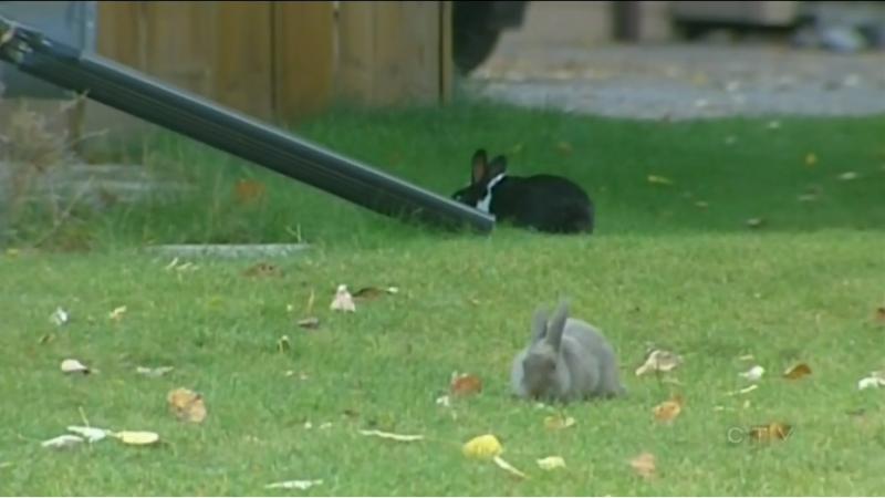 Канадский городок заполонили кролики