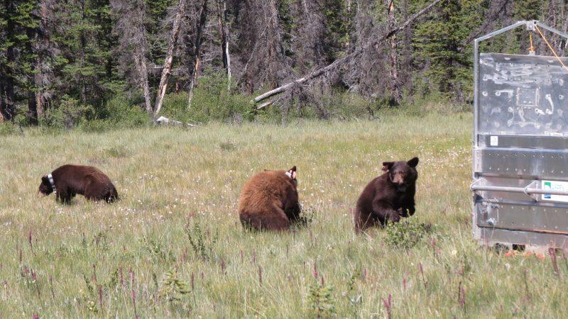 «Туалетные» медведи выпущены на свободу в канадском парке Банфф