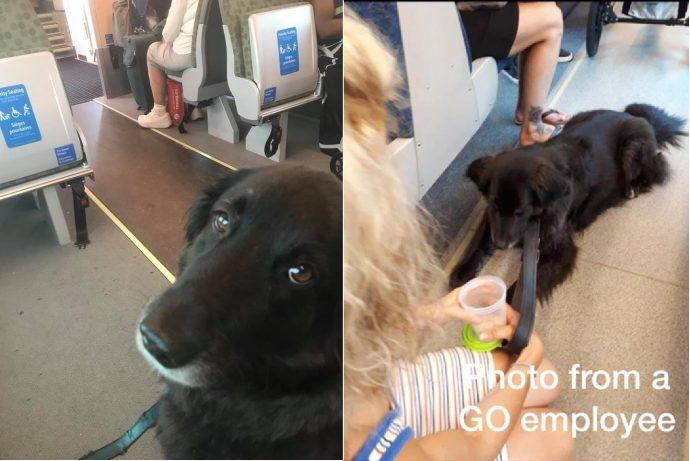 Пес проехался «зайцем» в торонтском поезде