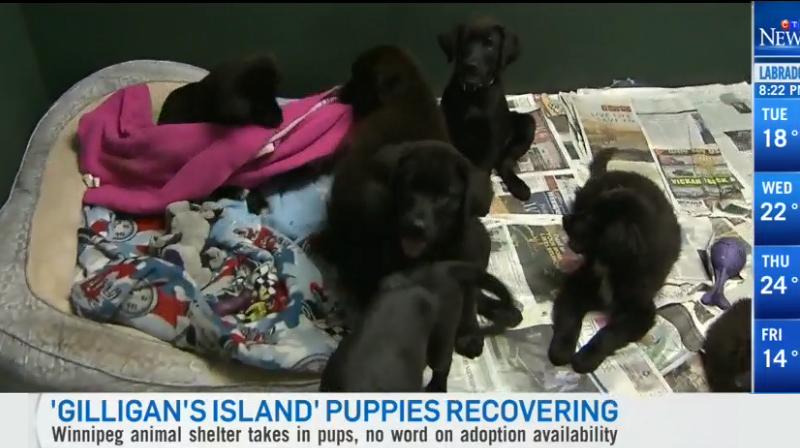 Канадских щенков хотят «усыновить» за границей