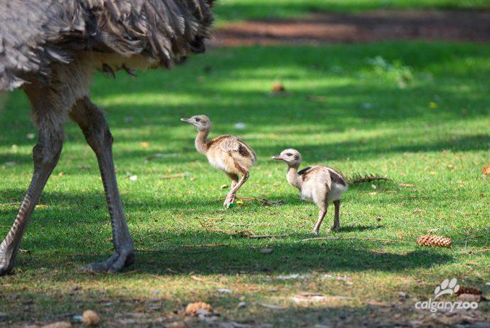 В Калгари родились «страусы»-нанду