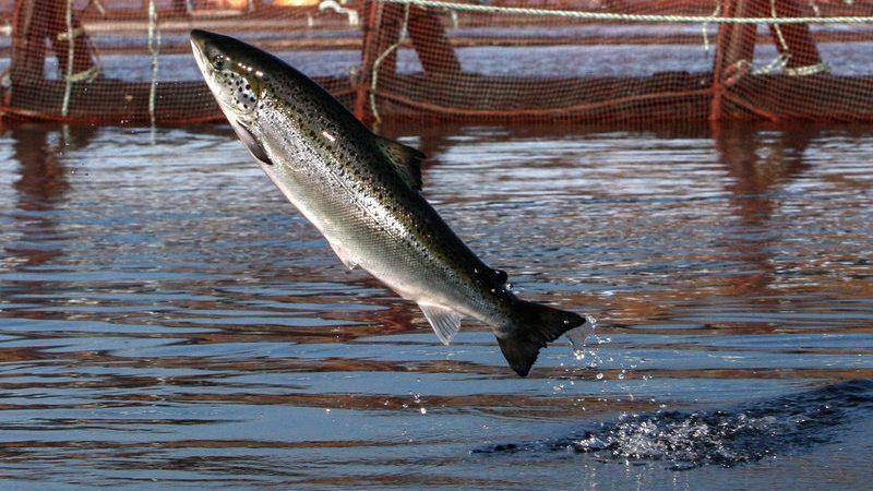 Фермерский лосось сбежал в океан