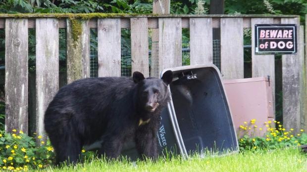 Медведи в Оттаве и небольшой урок истории Канады