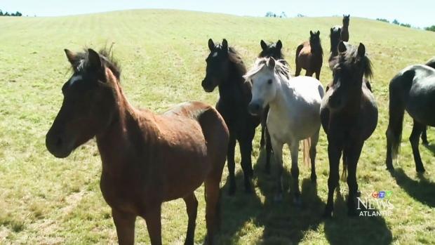 На Ньюфаундленде спасают уникальную породу пони