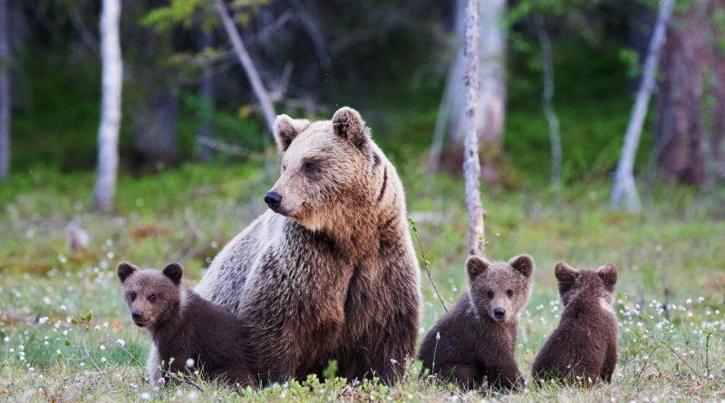 Канада, где «медведи по улицам ходят». Можно без кавычек