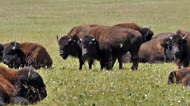 На ферме в Британской Колумбии от сибирской язвы погибли бизоны