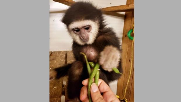 Похищенную из онтарийского зоопарка обезьянку нашли в Квебеке