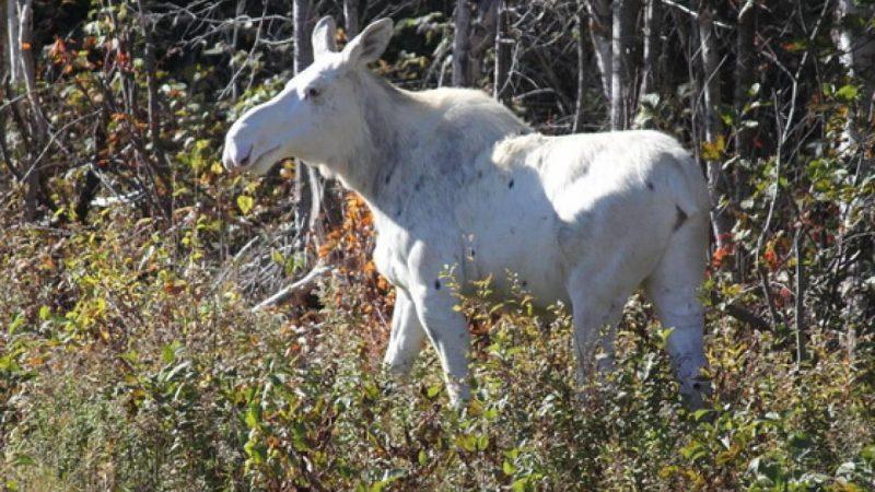 Священного у канадских индейцев лося можно увидеть в Онтарио