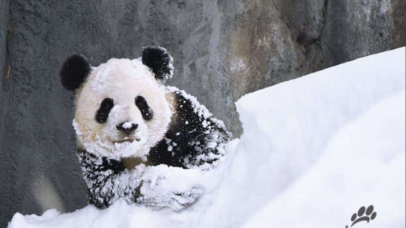 Пандам сугробы в Калгари понравились