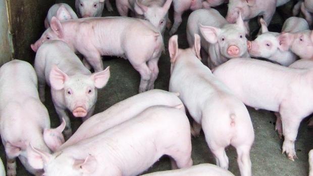В Калгари отныне можно заводить в квартире лошадку или свинку