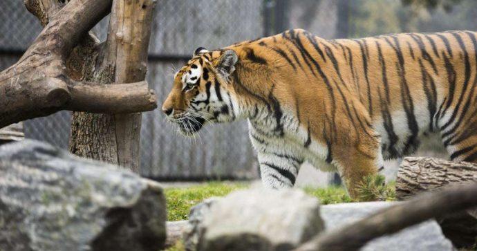 Амурские тигры вместо панд в зоопарке Торонто