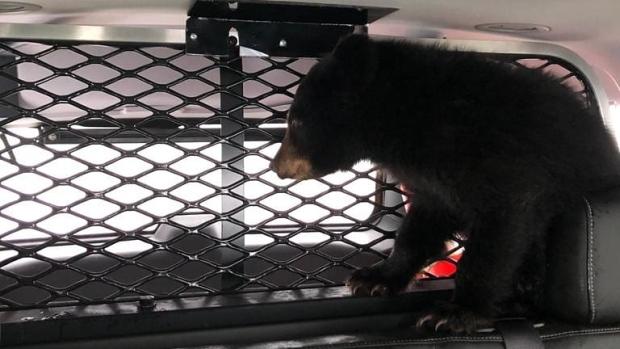 Полицейские отвезли потерявшегося медвежонка в приют