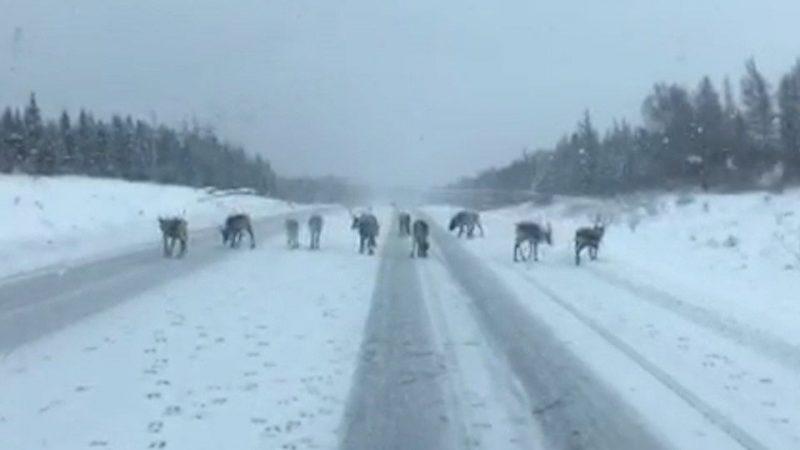 Олени Санта Клауса тренируются на Ньюфаундленде!