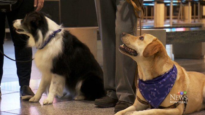 Собаки успокоят в Монреале нервных авиапассажиров