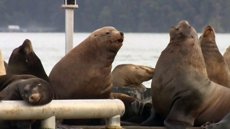Численность морских львов на западе Канады предлагают сократить