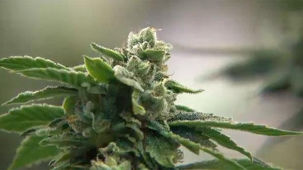 Соседи марихуановых ферм недовольны запахом