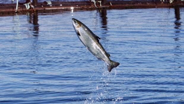 В Канаде рады низкому улову лосося в Гренландии
