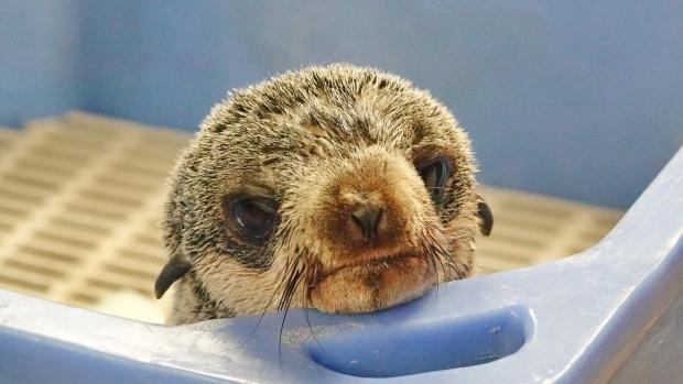 Больного тюленя спасли в ванкуверском Аквариуме