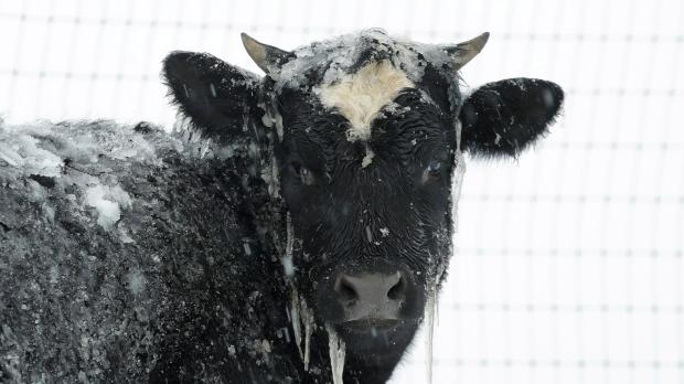Канадские полицейские поработали ковбоями и проводили коров до дому