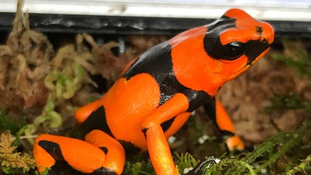 В Канаде добились размножения колумбийской лягушки
