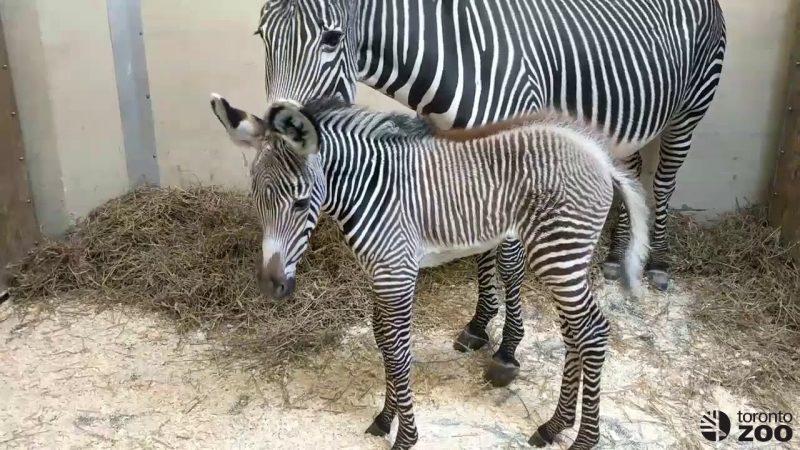 Зебренку в торонтском зоопарке дали имя