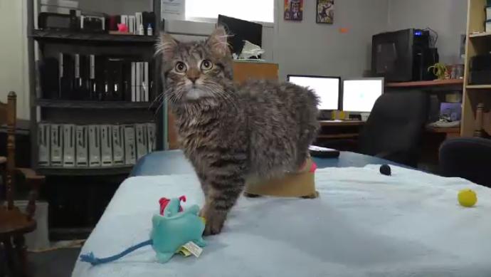 Братья создали протезы для кошки-инвалида