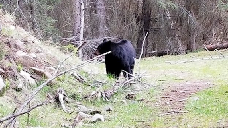 Питбуль спас хозяйку от медведя
